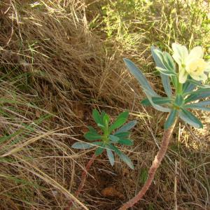 Photographie n°12297 du taxon Euphorbia characias L. [1753]