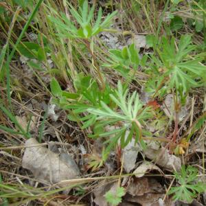 Photographie n°12385 du taxon Geranium columbinum L.