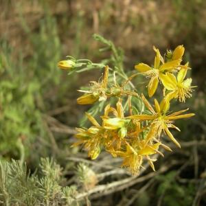 Photographie n°12454 du taxon Hypericum perforatum subsp. veronense (Schrank) H.Lindb. [1906]