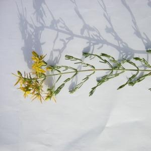 Photographie n°12455 du taxon Hypericum perforatum subsp. veronense (Schrank) H.Lindb. [1906]