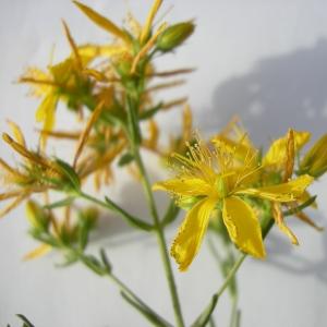 Photographie n°12456 du taxon Hypericum perforatum subsp. veronense (Schrank) H.Lindb. [1906]