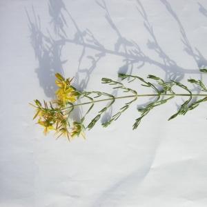 Photographie n°12458 du taxon Hypericum perforatum subsp. veronense (Schrank) H.Lindb. [1906]