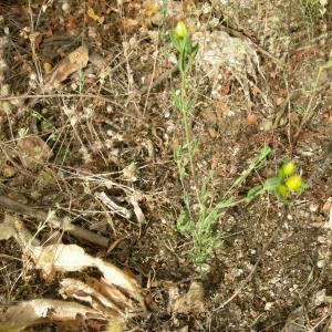 - Hypericum perforatum subsp. veronense (Schrank) H.Lindb. [1906]