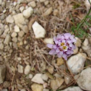 Iberis linifolia L. (Ibéris à feuilles de lin)