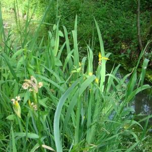 Photographie n°12467 du taxon Iris pseudacorus L. [1753]
