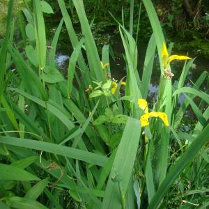 Photographie n°12468 du taxon Iris pseudacorus L. [1753]