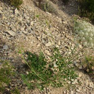 Photographie n°12483 du taxon Laserpitium gallicum L.
