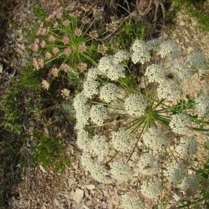 Photographie n°12485 du taxon Laserpitium gallicum L.