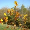 - Liriodendron tulipifera L.