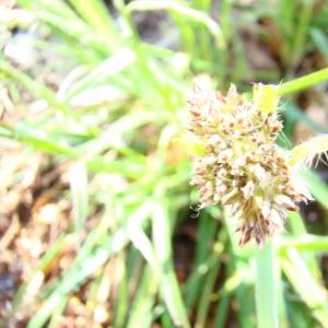 Photographie n°12553 du taxon Luzula nivea (L.) DC.