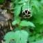 - Meconopsis cambrica (L.) Vig. [1814]