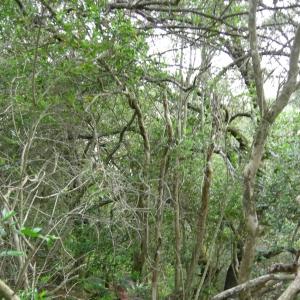 Photographie n°12606 du taxon Myrtus communis L. [1753]