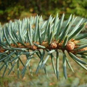 Photographie n°12655 du taxon Picea pungens Engelm. [1879]