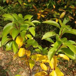 Photographie n°12728 du taxon Prunus serotina Ehrh.