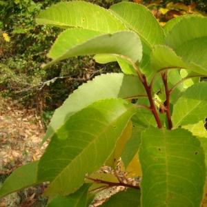 Photographie n°12729 du taxon Prunus serotina Ehrh.