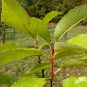 Photographie n°12731 du taxon Prunus serotina Ehrh.