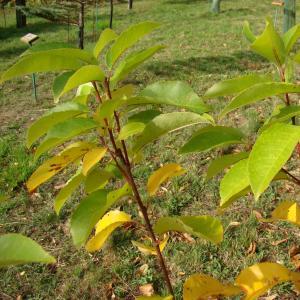 Photographie n°12732 du taxon Prunus serotina Ehrh.