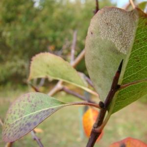 Photographie n°12734 du taxon Pyrus communis L.