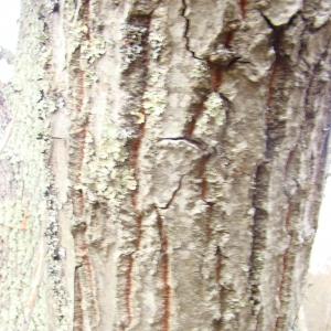 Photographie n°12736 du taxon Quercus cerris L.