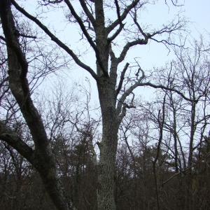Photographie n°12738 du taxon Quercus cerris L.