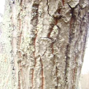 Photographie n°12739 du taxon Quercus cerris L.