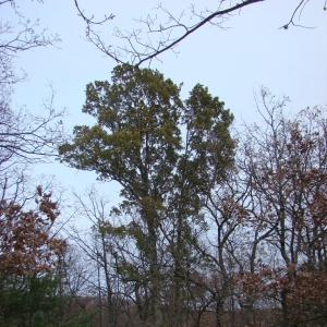 Photographie n°12740 du taxon Quercus crenata Lam.