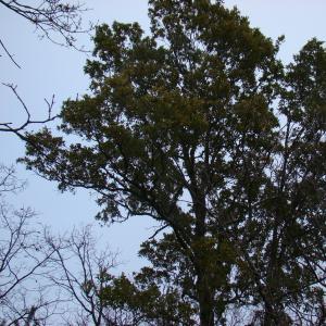Photographie n°12743 du taxon Quercus crenata Lam.