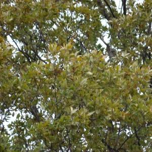 Photographie n°12744 du taxon Quercus crenata Lam.