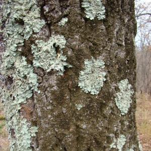 Photographie n°12745 du taxon Quercus crenata Lam.
