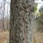 - Quercus crenata Lam. [1785]