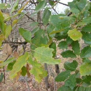 Photographie n°12748 du taxon Quercus crenata Lam.