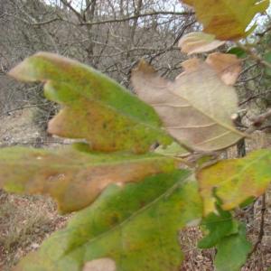Quercus crenata Lam. (Faux Chêne-liège)