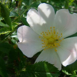 Photographie n°12763 du taxon Rosa canina L.
