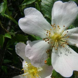 Photographie n°12765 du taxon Rosa canina L.