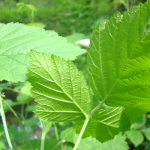 Photographie n°12768 du taxon Rubus caesius L. [1753]