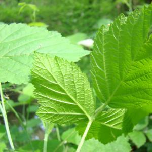 Photographie n°12769 du taxon Rubus caesius L. [1753]