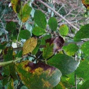 Photographie n°12774 du taxon Salix caprea L.