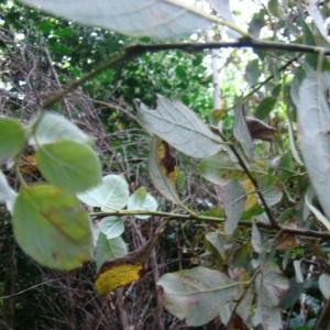 Photographie n°12775 du taxon Salix caprea L.