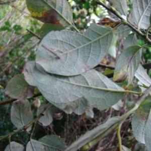 Photographie n°12776 du taxon Salix caprea L.
