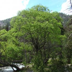 Salix daphnoides Vill. [1779] (Saule faux daphné)