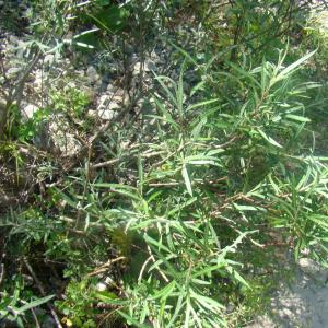 Photographie n°12784 du taxon Salix eleagnos Scop. [1772]