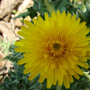 Sonchus asper subsp. glaucescens (Jord.) P.W.Ball (Laiteron glauque)