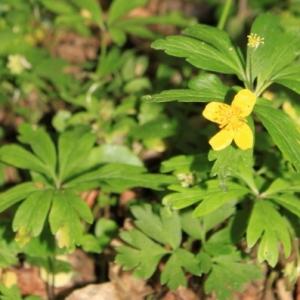 Photographie n°13069 du taxon Anemone ranunculoides L.