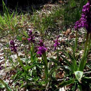 Ophrys apifera subsp. purpurea (Tausch) K.Richt.