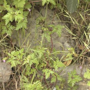 Photographie n°13109 du taxon Geranium purpureum Vill. [1786]