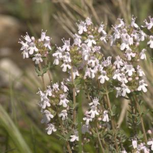 Photographie n°13135 du taxon Thymus vulgaris L.