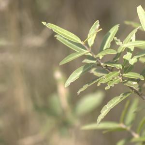 Photographie n°13143 du taxon Phillyrea angustifolia L. [1753]