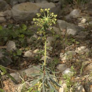 Photographie n°13147 du taxon Euphorbia characias L. [1753]
