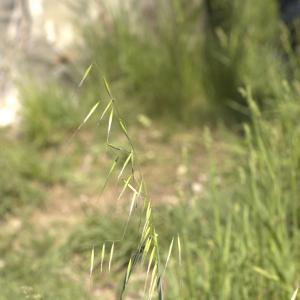 Photographie n°13160 du taxon Avena fatua L. [1753]