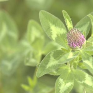 Photographie n°13167 du taxon Trifolium pratense L. [1753]
